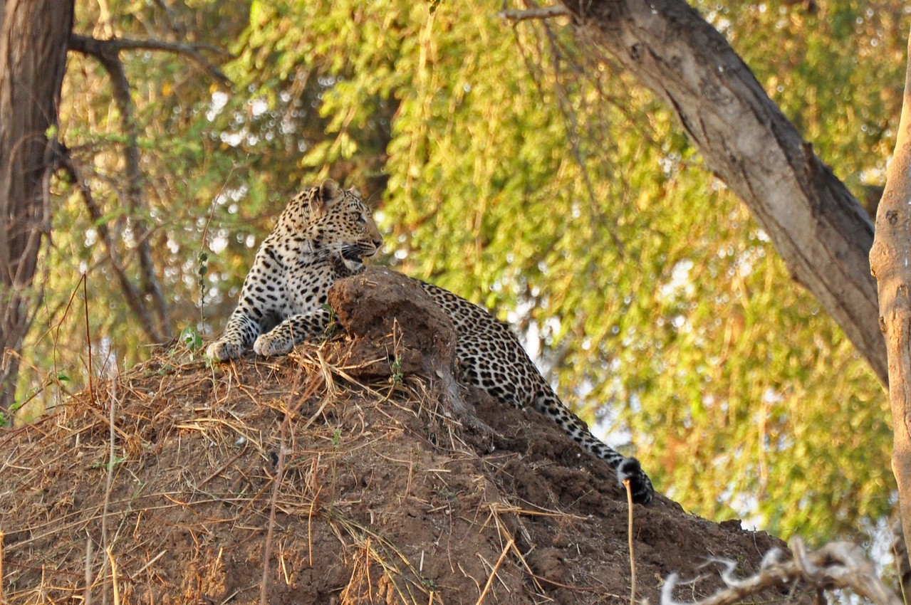 Leopard near Old Mondoro<br /> <br /> On three night drives at Old Mondoro in Lower Zambezi National Park, we saw seven leopards. Such a beautiful cats!