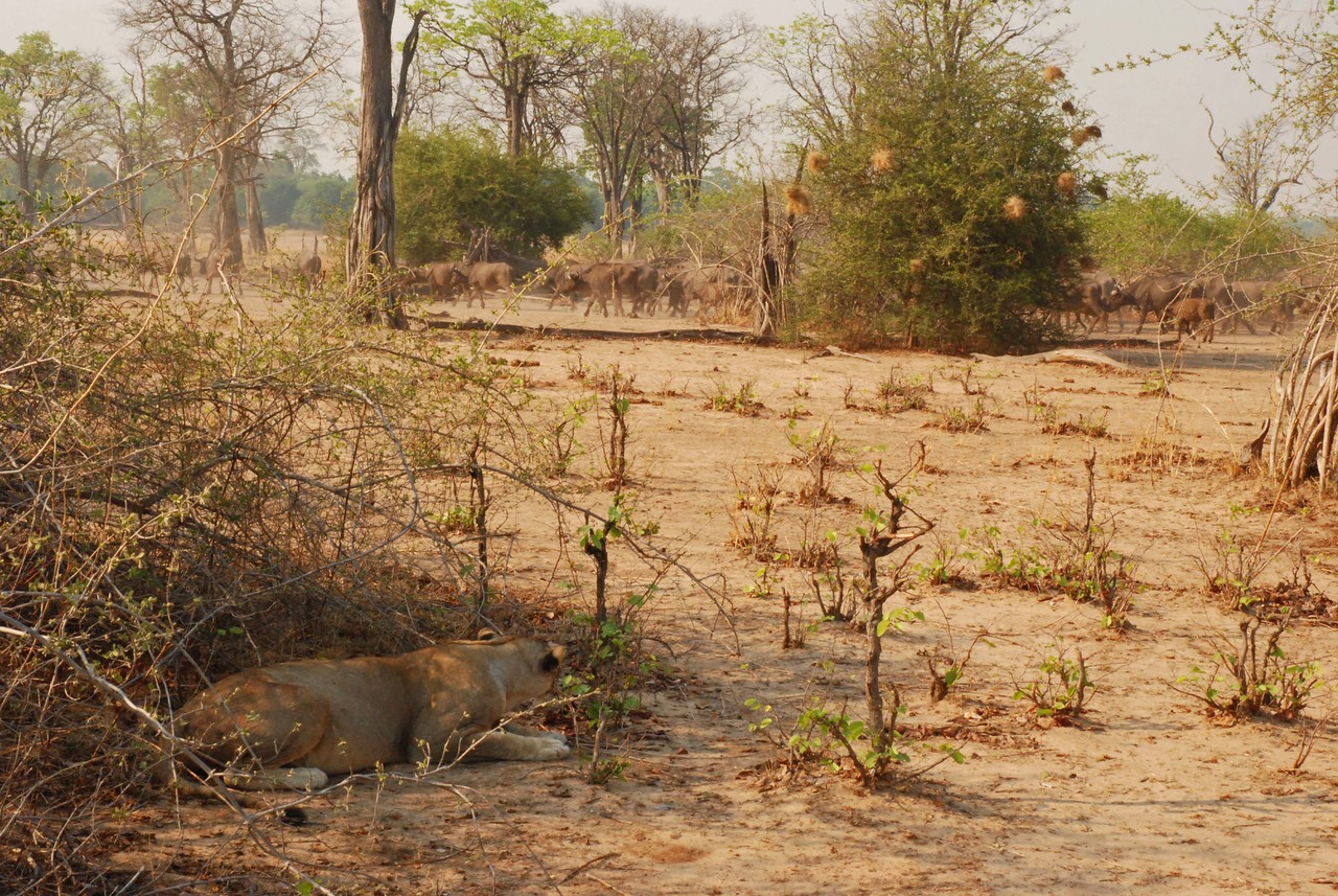 Lioness watching a herd of buffalo near Kaingo Camp<br /> <br /> On a game drive with Kennedy, a guide from Kaingo Camp in South Luangwa National Park in Zambia, we came across two lionesses that were lying in the shade of a bush. Both lions had grotesquely engorged stomachs and were panting heavily. It was clear that they had just eaten. As we sat admiring them, we noticed a huge herd of 100+ buffalo approaching. The buffalo, a favourite food of lions, were on their way to the river, and the lions lay in their path. The buffalo were very skittish. The cats were in the open, and the buffalo were clearly aware that the lions were there. Some buffalo even stopped and stared intently at the lions before moving on. Despite the danger, the buffalo continued on their way, passing within 15m of the lions. In the time it took for the long line of buffalo to pass, the two lionesses never took their eyes off the herd. We held our breath, wondering if the lions would attack but, although one cat crouched several times, the two lions never made a move.