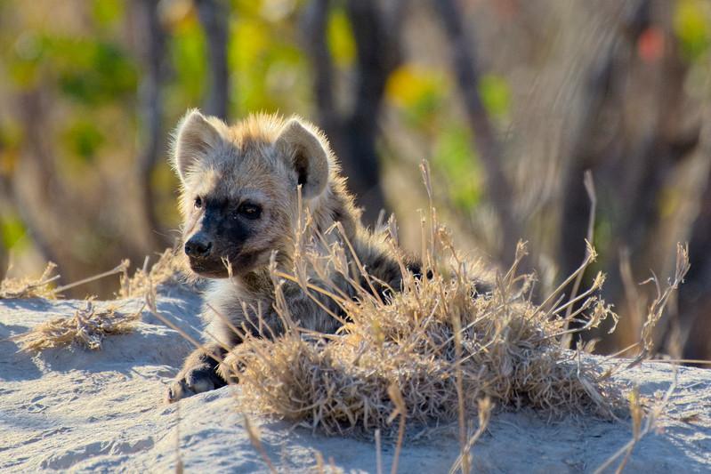 Hyena puppy, Sabi Sands, South Africa