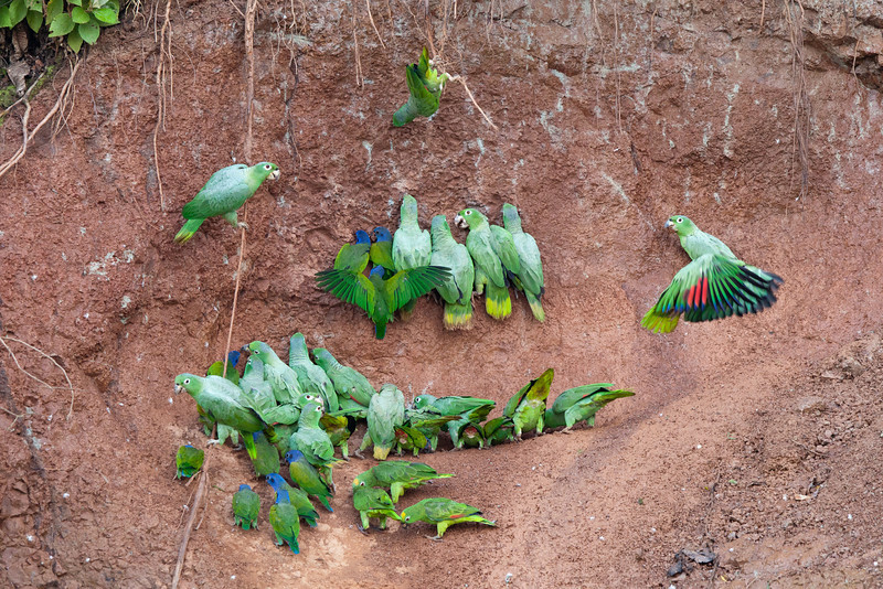 A collection of parrots at a clay lick