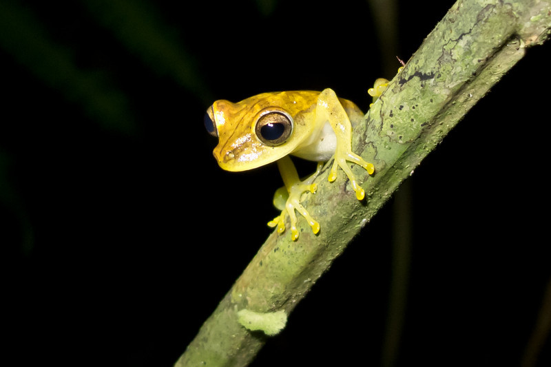 Hypsiboas Fasciata, one of the many tree frog species