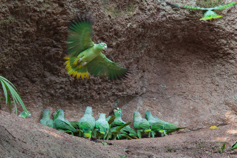 Mealy Amazon Parrots