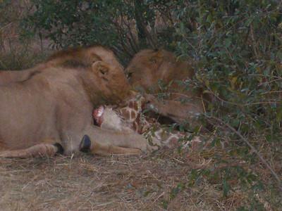 Safari 2006