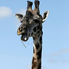 Giraffe Eating 2
