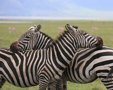 Zebras Resting