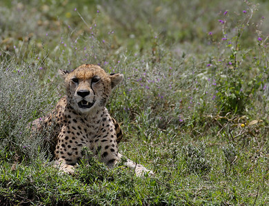 Cheetah and Wild Flowers 2