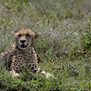 Cheetah and Wild Flowers 2