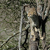 Cheetah in the Tree