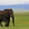 Bull Elephant (1)