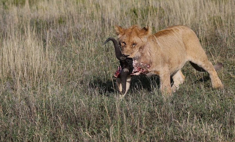 Lion Cub with Prize