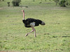 The Ostrich is not a graceful bird!