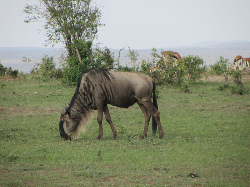 Wildebeasts are funny looking animals!