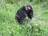 We went to a preserve for chimpanzees that had been rescued from abusive owners.  They have many acres to wander around but they are friendly, often come when their name is called and rely on the sanctuary to provide food.