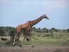 Our guided explained that this is a Reticulated Giraffe, somewhat shorter than the Masai Giraffe we will see later.