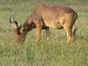 I have trouble keeping the antelopes straight.  This looks like an Impala.