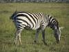 Zebras are amazing!