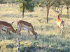 These look like Grant's Gazelles, much bigger than the Thomson's Gazelles.