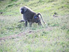 Not far from the chimp sanctuary were baboons.  They required no assistance from people.