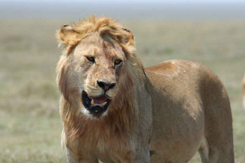 Young male lion. Serengeti National Park, Tanzania, Africa.
