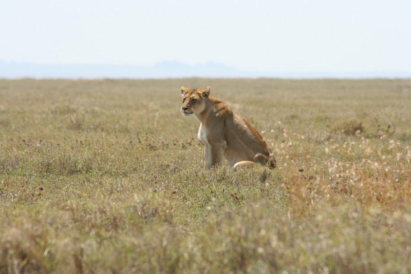 Female lion watching. Serengeti National Park, Tanzania, Africa.