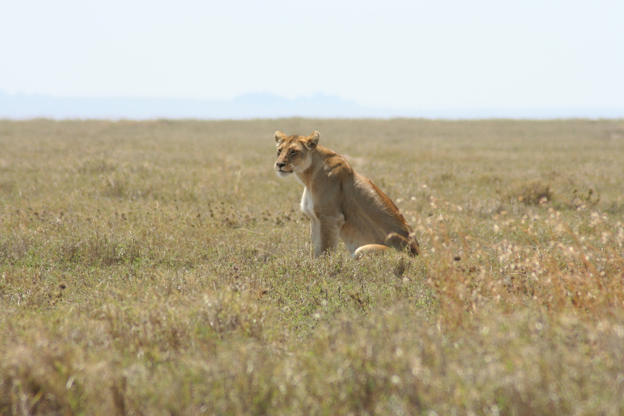 Female lion watching. Serengeti National Park, Tanzania, Africa.