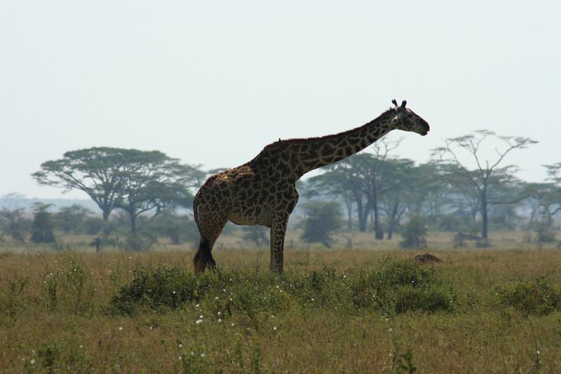 Giraffe. Serengeti National Park, Tanzania, Africa.