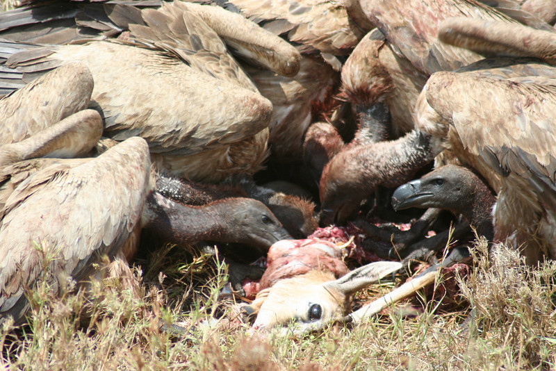 Vultures with a Gazelle Carcass. Serengeti National Park, Tanzania, Africa.