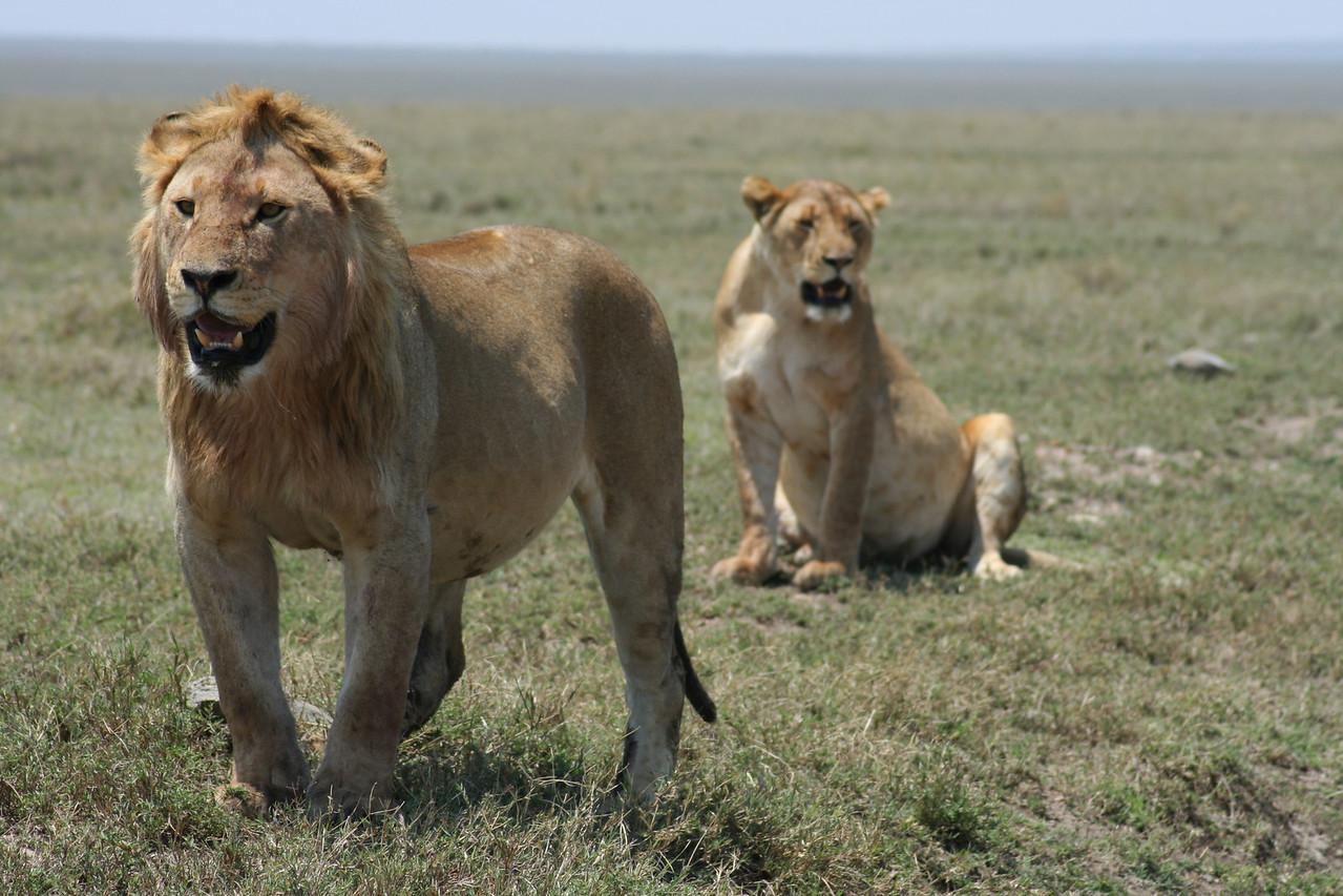Lions. Serengeti National Park, Tanzania, Africa.