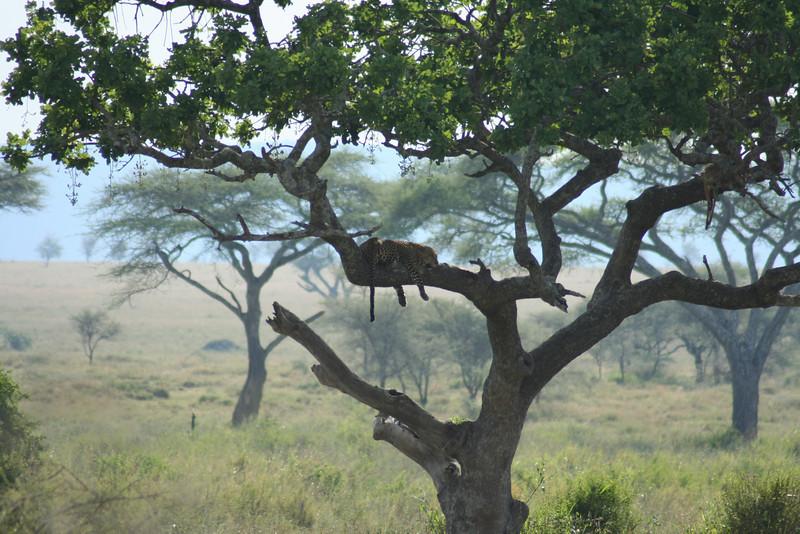 Leopard on a Tree. Serengeti National Park, Tanzania, Africa.