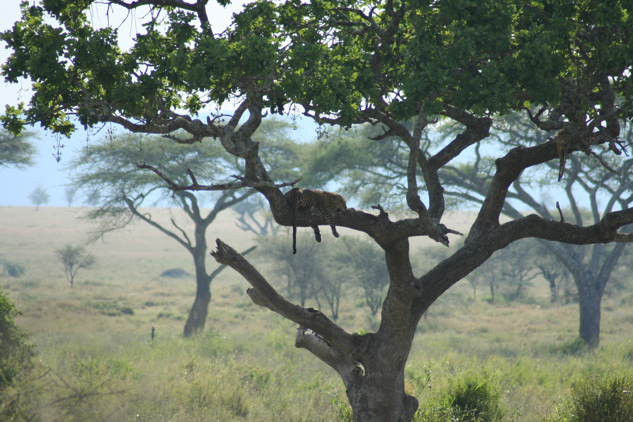 Leopard on a Tree. Serengeti National Park, Tanzania, Africa.