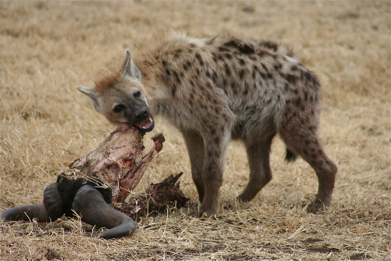 Hyena with Skull. Ngorongoro National Park, Tanzania, Africa.