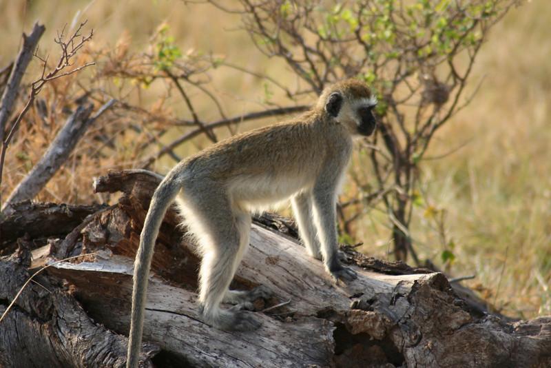 Savannah Monkey. Tanzania, Africa.