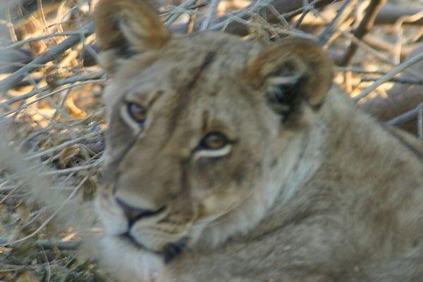 Safari at Mashatu Private Game Reserve, Tuli Block, Botswana