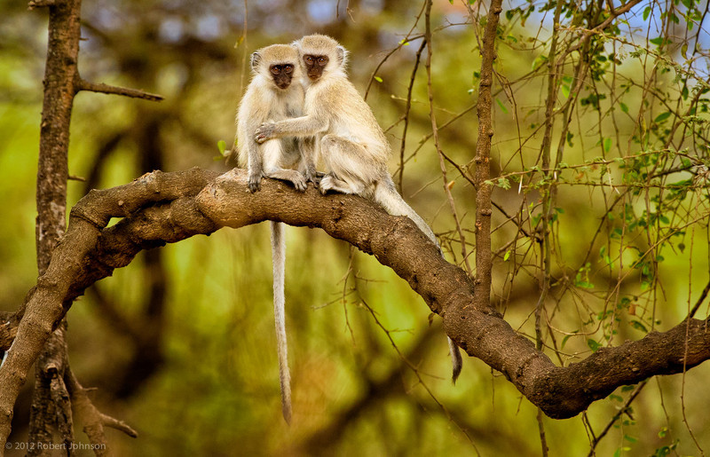 Kima or vervet monkey (Chlorocebus pygerythrus)