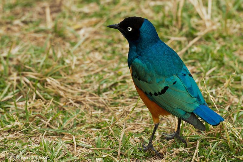 Splendid starling (Lamprotornis splendidus)