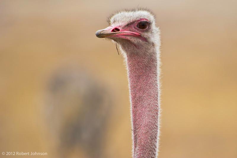 Ostrich (Struthio camelus)
