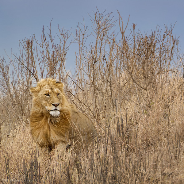 Simba or lion (Panthera leo)