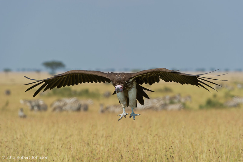 Lappet-faced vulture or Nubian vulture (Torgos tracheliotos)