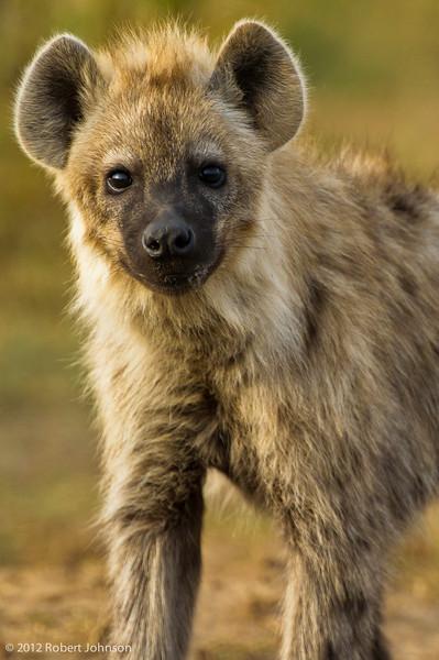Fisi or spotted hyena (Crocuta crocuta)