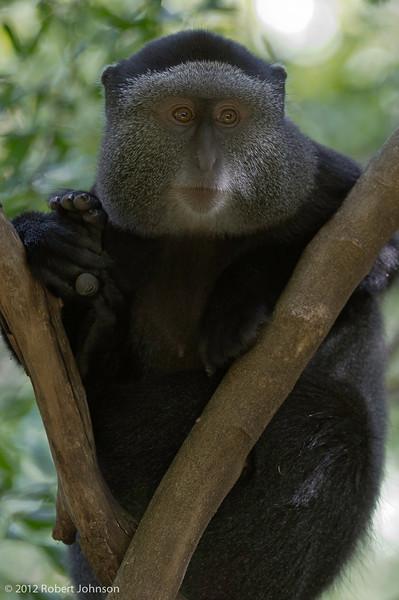 Kima or Sykes' monkey (Cercopithecus albogularis)