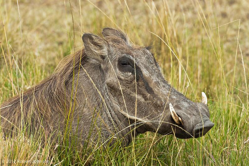 Ngiri or warthog (Phacochoerus africanus)