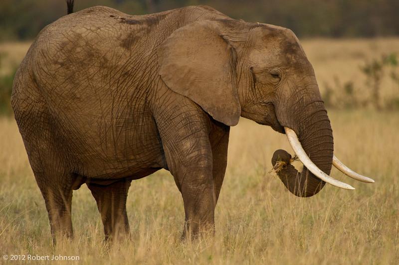 Tembo or African elephant (Loxodonta africana)