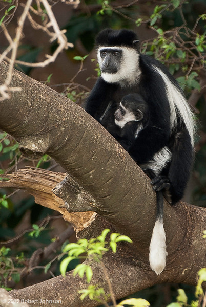Kima or mantled guereza or black-and-white colobus (Colobus guereza)