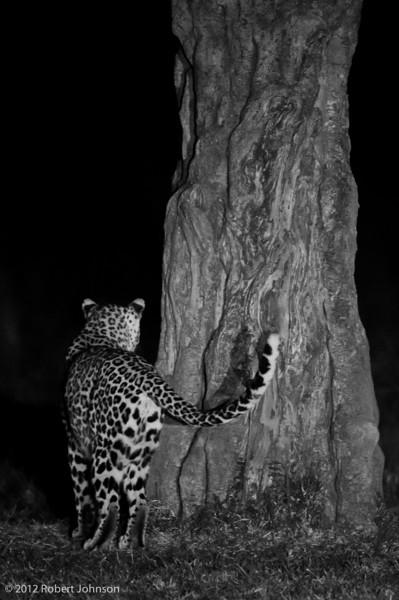 Chui or leopard (Panthera pardus)