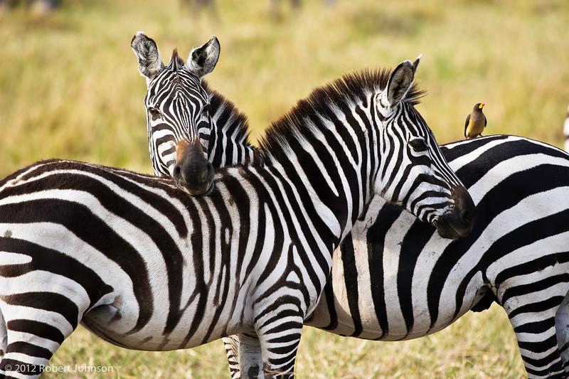 Punda millia or plains zebra (Equus quagga)