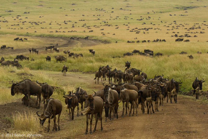 Nyumbu or blue wildebeest (Connochaetes taurinus)