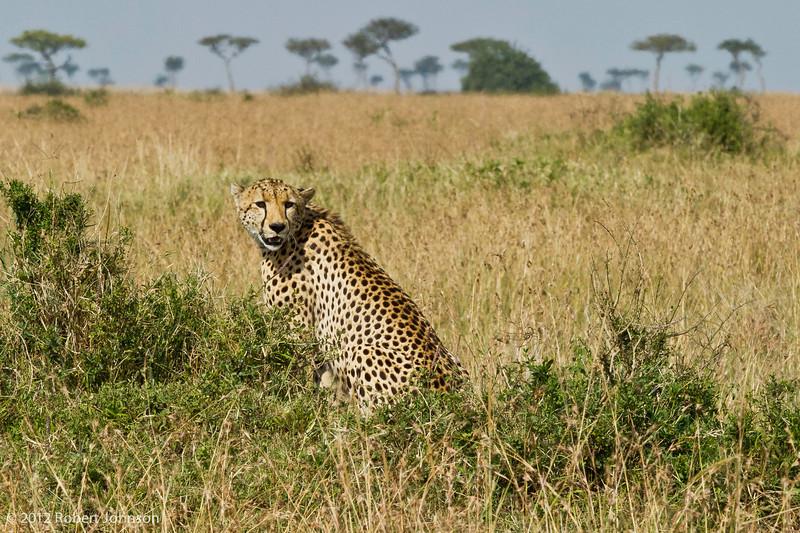 Duma or cheetah (Acinonyx jubatus)