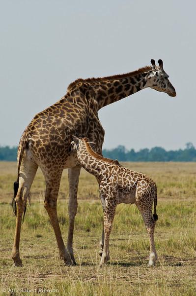 Twiga or giraffe (Giraffa camelopardalis)