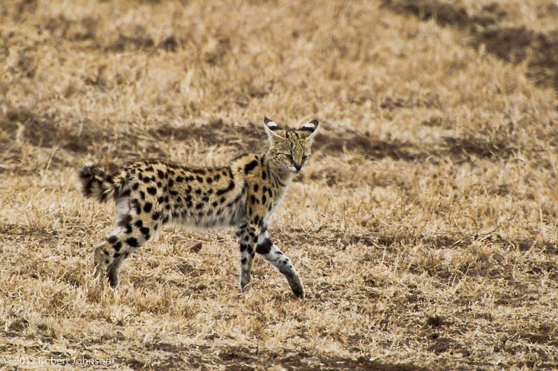 Mondo or serval (Leptailurus serval)