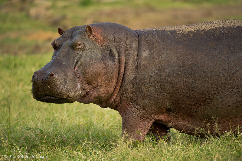 Kiboko or hippopotamus (Hippopotamus amphibius)